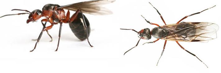 10 astuces pour faire fuir les fourmis volantes