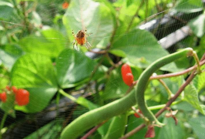 une araignée rouge sur un plant d'haricot vert