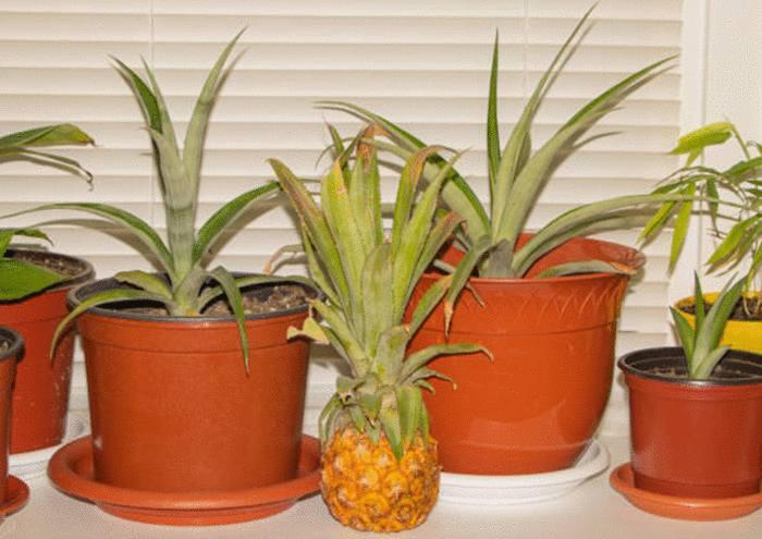 planter un ananas pour le faire grandir
