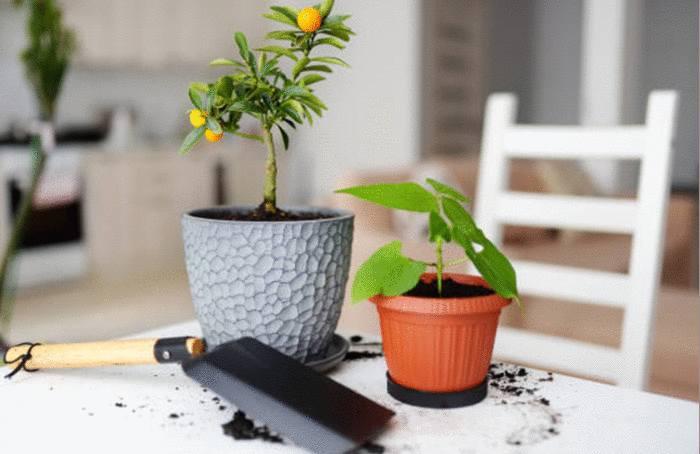 comment faire pousser orange ou citron
