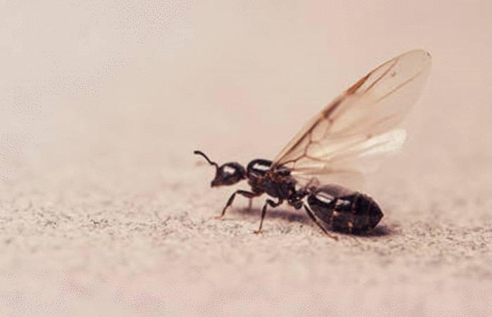 quelle asutce contre les fourmis volantes