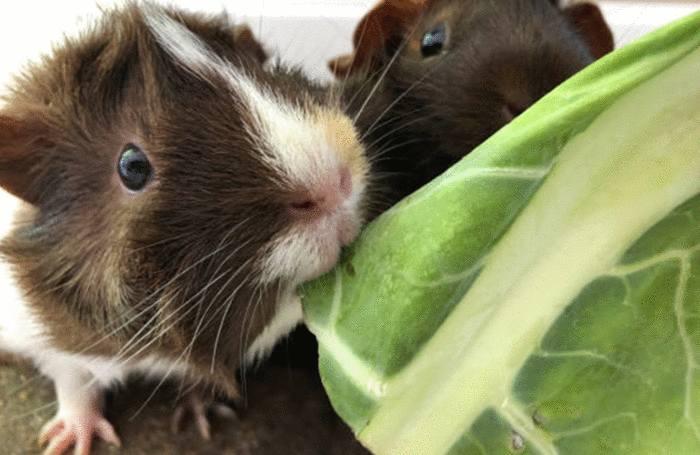 comment bien soigner hamster et cobaye