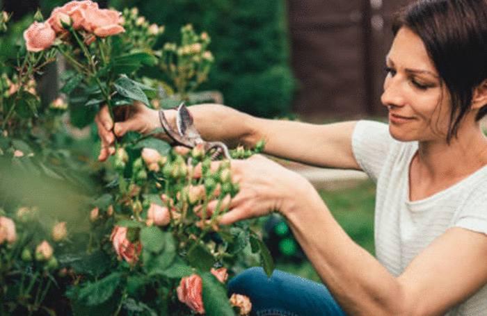 maladies rosier : comment soigner rosier