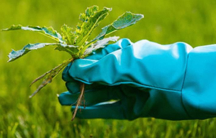 une main recouverte d'un gant de plastique bleu enleve une mauvaise herbe