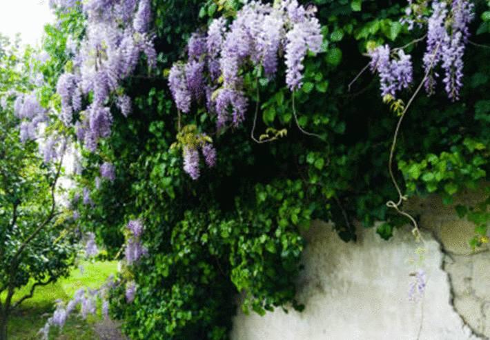 glycine une plante qui peut être toxique