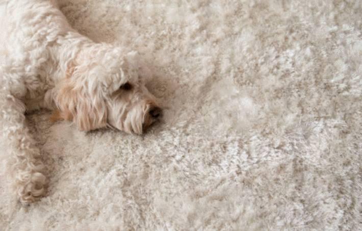 un chien sur un tapis fausse fourrure