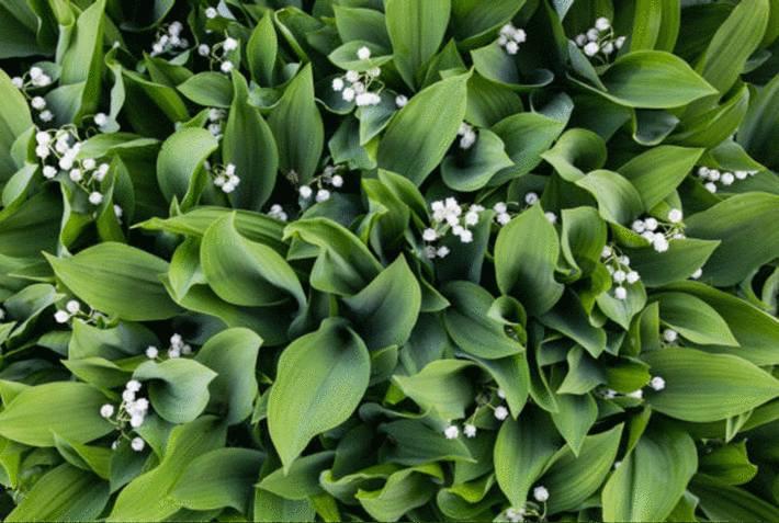 muguet plante toxique dans le jardin
