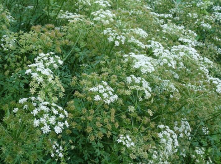 Oenanthe safranée la plante la plus toxique du jardin