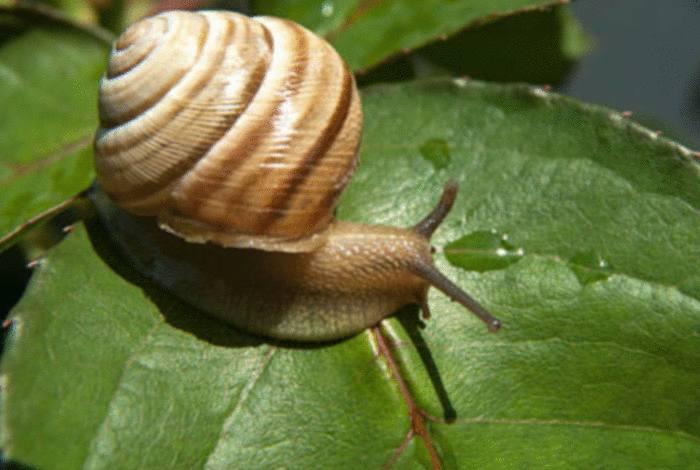 remède naturel contre escargot