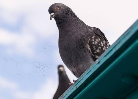 15 astuces pour lutter contre les pigeons