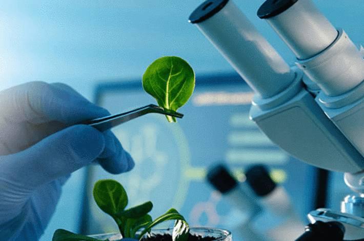 feuille-de-salade-dans-une-pince-devant-un-microscope