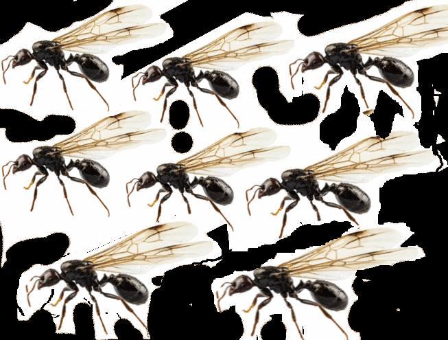 fourmi et fourmi volante