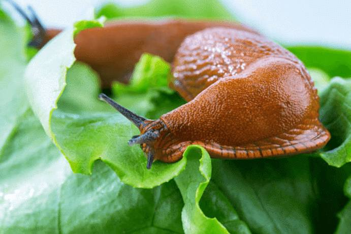 remède naturel contre limace