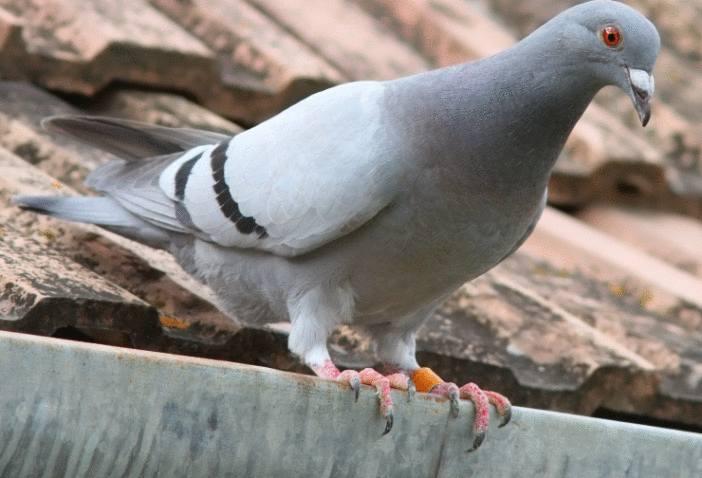 comment se débarrasser des pigeons