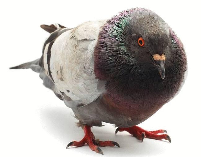 pigeon comment se débarrasser des pigeons