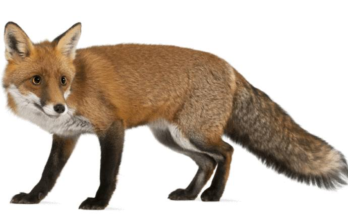 comment éloigner les renards